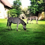 Zebras at the Royal Livingstone