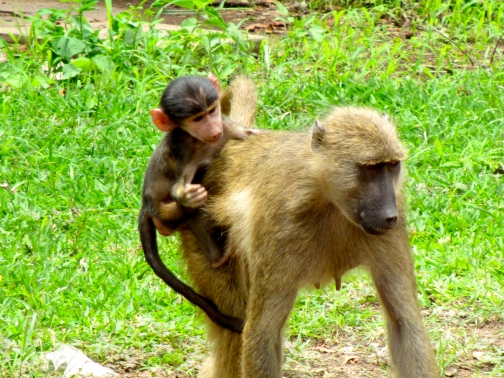 Baby baboon and its mother